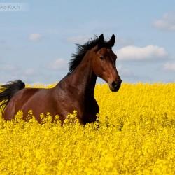 Gniada klacz trakeńska galopująca wiosną w rzepaku na tle błękitnego nieba