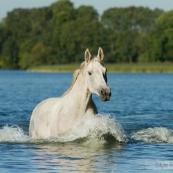 Siwa klacz trakeńska kłusująca latem przez jezioro