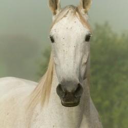 Portret siwej klaczy trakeńskiej we mgle