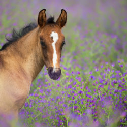 Lusitano foal among violet flowers
