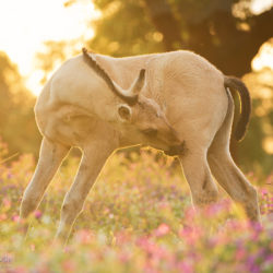 Lusitano foal among violet flowers at sunset