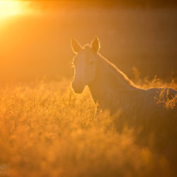 Lusitano foal in the field at sunrise