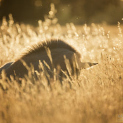 Lusitano foal in the field at sunrise lying among grass