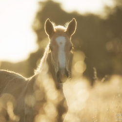 Lusitano foal in the field at sunrise among grass