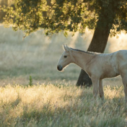 Lusitano foal in the field at sunrise standing among grass
