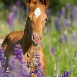 Wiosenny portret źrebaka AQH w kwitnącym łubinie