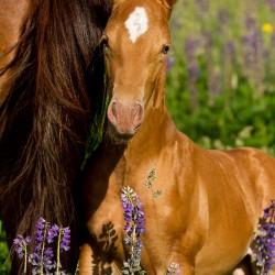 Portret szampańskiego źrebaka AQH w kwitnącym łubinie zdjęcia koni