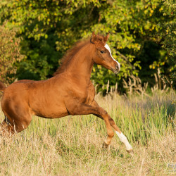 Chesnut Arabian foal galloping in autumn scenery