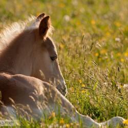 Źrebak haflinger leżący wiosną na łące w kwiatach o zachodzie słońca zdjęcia koni