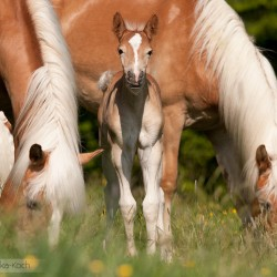 Źrebak haflinger w stadzie na wiosennej łące zdjęcia koni