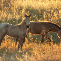Lusitano foals in the field at sunrise standing among grass