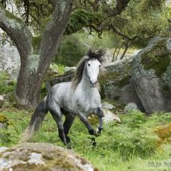 Siwy ogier andaluzyjski galopujący wśród skał