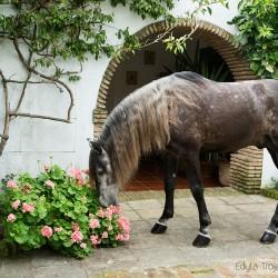 Siwy ogier andaluzyjski wąchający kwiaty w patio