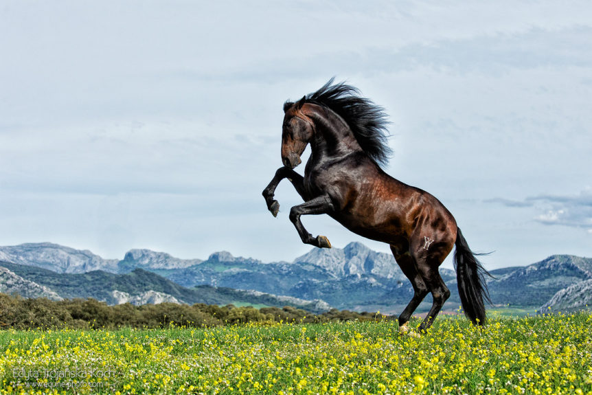 Andalusian stallion rising against mountains