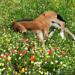 Źrebak andaluzyjski śpiący na ukwieconej łące