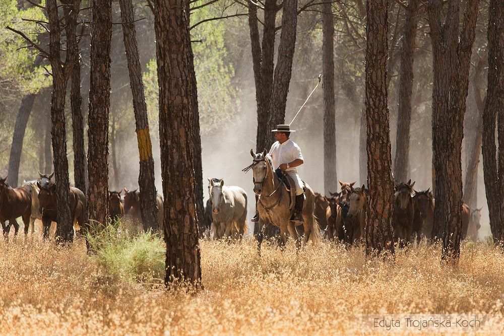 Stado koni podczas spędu w Andaluzji w Hiszpanii