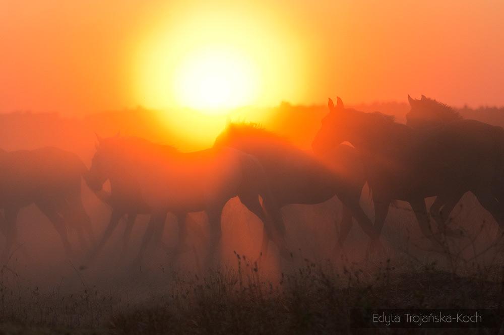 Stado koni podczas spędu w Andaluzji o zachodzie słońca