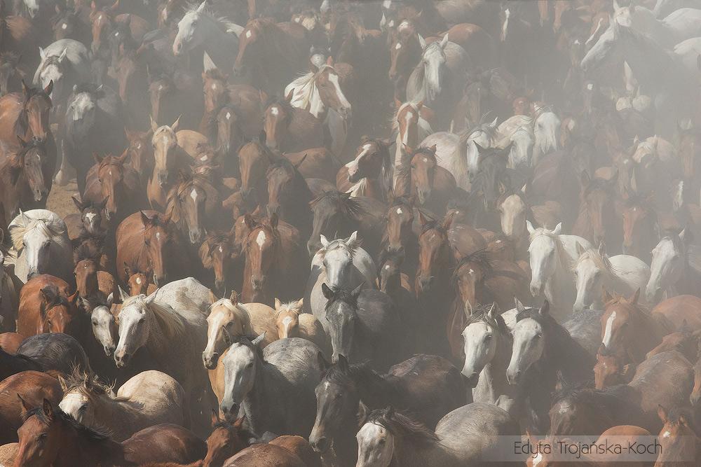Jeździec i stado koni podczas spędu w Andaluzji w Hiszpanii