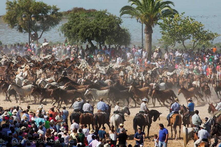 The round-up of wild horses in Andalucia Spain