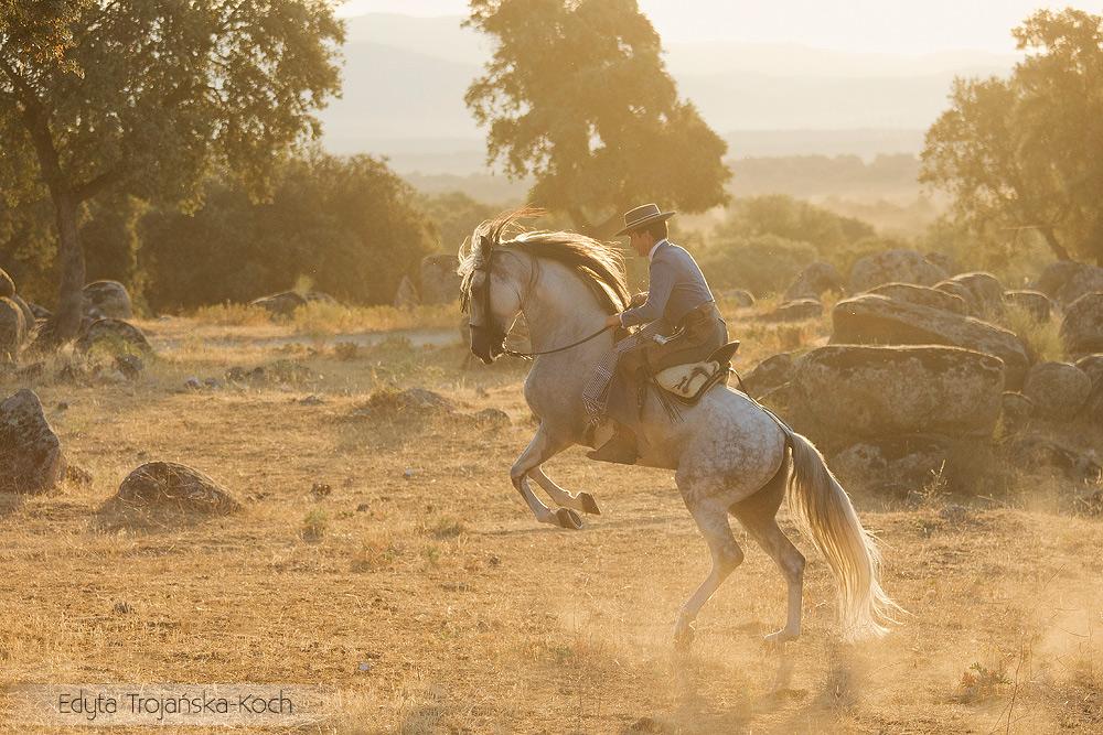 Jeździec na siwym andaluzie wspinającym się o wschodzie słońca