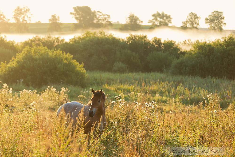 Coldblooded mare early morning in the meadow