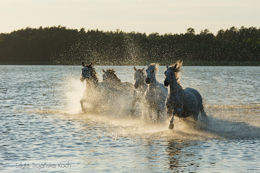 The herd of grey mares galloping through the lake