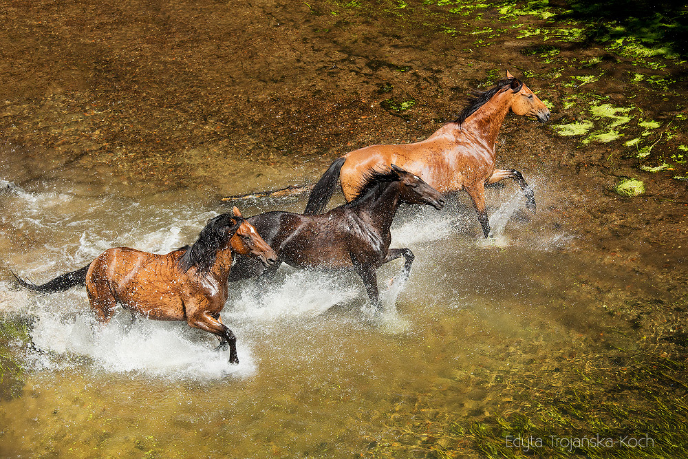 Horses galloping through the river