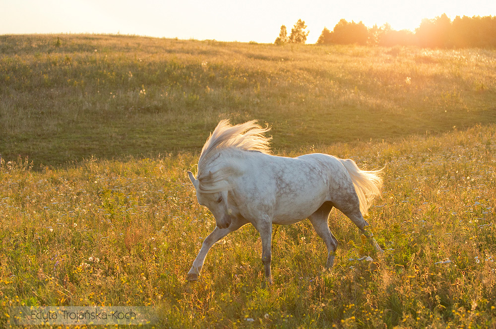Welsh pony mare galloping at sunset