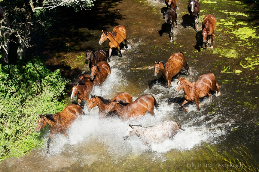 A herd of horses galloping through the river