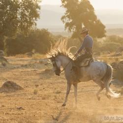 Jeździec doma vaquera galopujący na siwym ogierze andaluzyjskim o wschodzie słońca