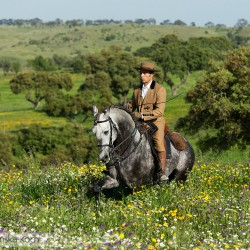 Portugalski jeździec kłusujący na siwym ogierze lusitano wśród kwiatów