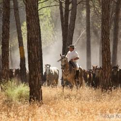 Jeździec ze stadem koni w lesie piniowym
