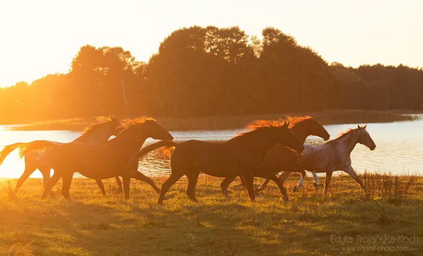 Stado koni galopujące o zachodzie słońca nad jeziorem