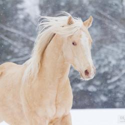 Zimowy portret ogiera AQH