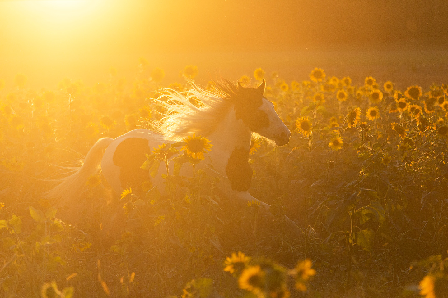 Gypsy Cob mare galloping through the sunflowers