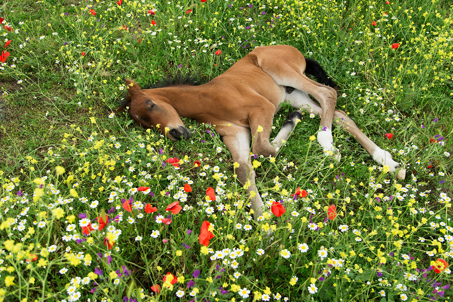 Andalusian foal dreaming among flowers