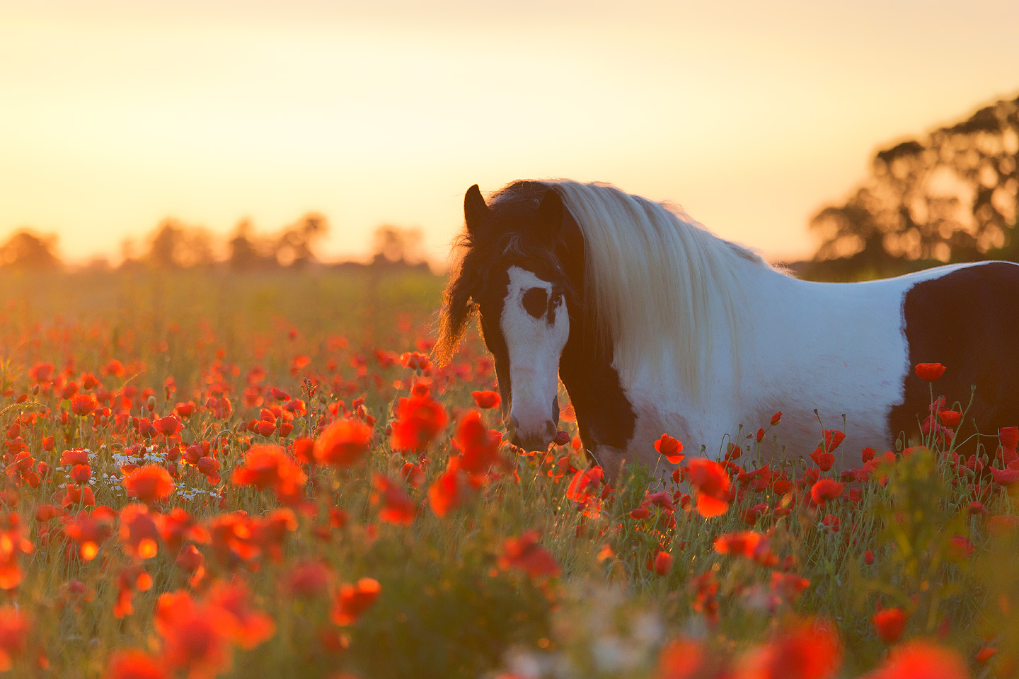 Portrait of Gypsy Cob stallion among poppies