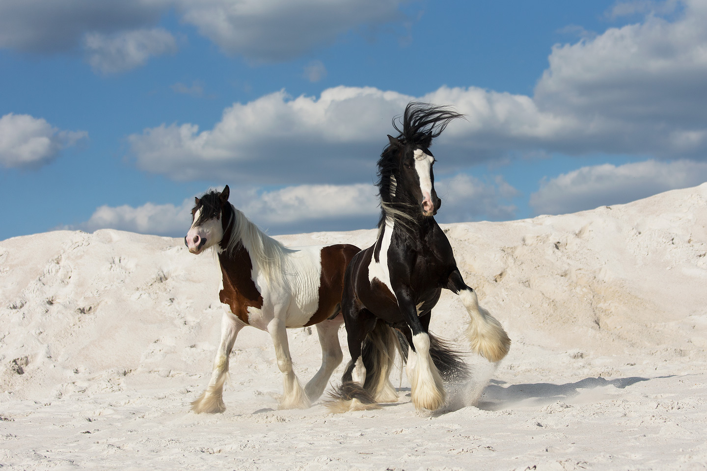 Gypsy Cobs playing on the white sand