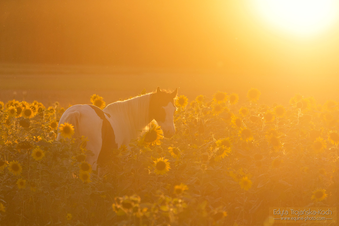 Gypsy Con mare among sunflowers
