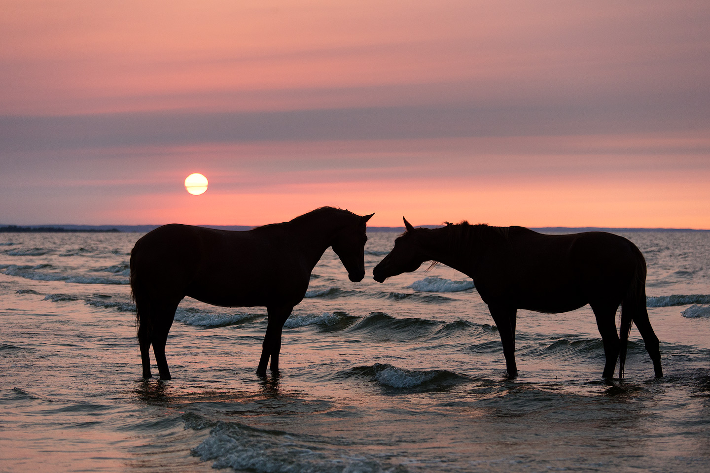 Horses kissing at sunset in the sea