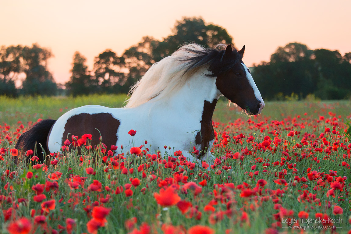 Gypsy Cob stallion galloping through the poppies' field