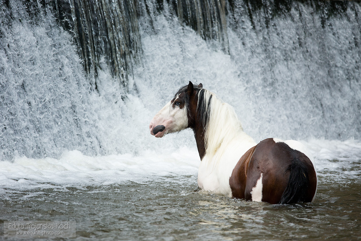 Gypsy Cob stallion by the waterfall