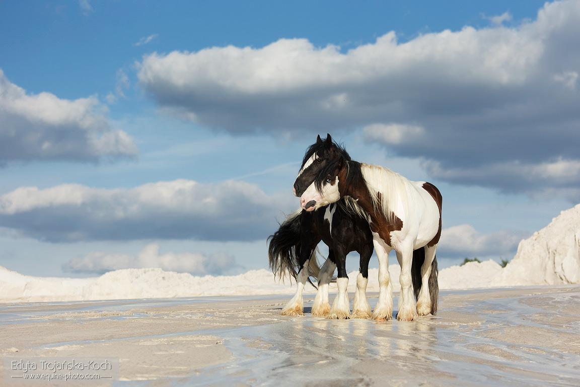 Gypsy Cob stallions on the white sand