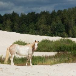 Klacz APH latem na białych piaskach kaolinu