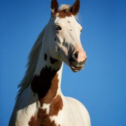 Portret klaczy America Paint Horse na tle nieba