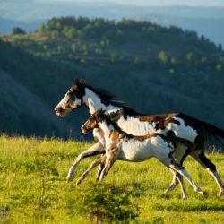 Klacz America Paint Horse galopująca ze źrebakiem w górach