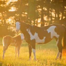Klacz America Paint Horse ze źrebakiem o wschodzie słońca