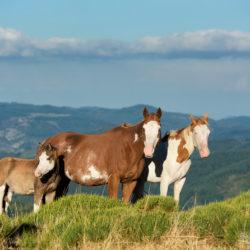 Klacze APH o poranku w górach Francji