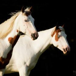 Portret klaczy America Paint Horse na czarnym tle