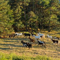 Stado klaczy APH w górach na tle lasu